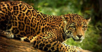 jaguar2