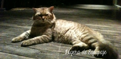 Gato Phi Phi tigre