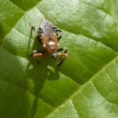 Minca insecto