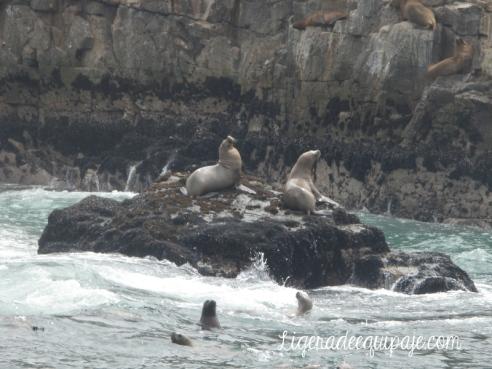 Lobos marinos Islas palomino Peru